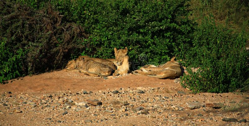 Basking lions
