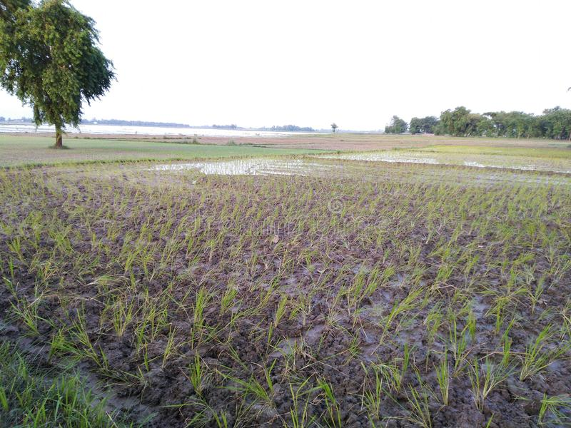 Basmati ρυζιού συγκομιδών νερού πλημμύρας ziri καλλιέργειας γεωργίας Dhaan βροχερή γη δέντρων pusa στοκ φωτογραφία