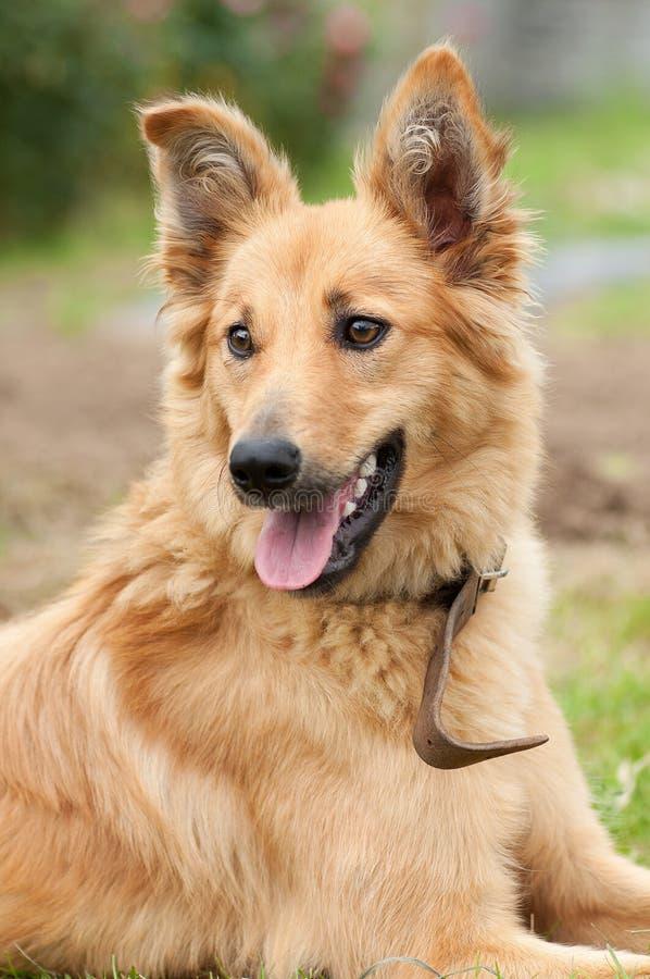 Basque shepherd dog portrait royalty free stock photography