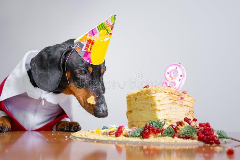 Bassê bonito da raça do cão, preto e bronzeado, com lambedura da língua e com fome para um bolo do feliz aniversario com vela núm fotografia de stock
