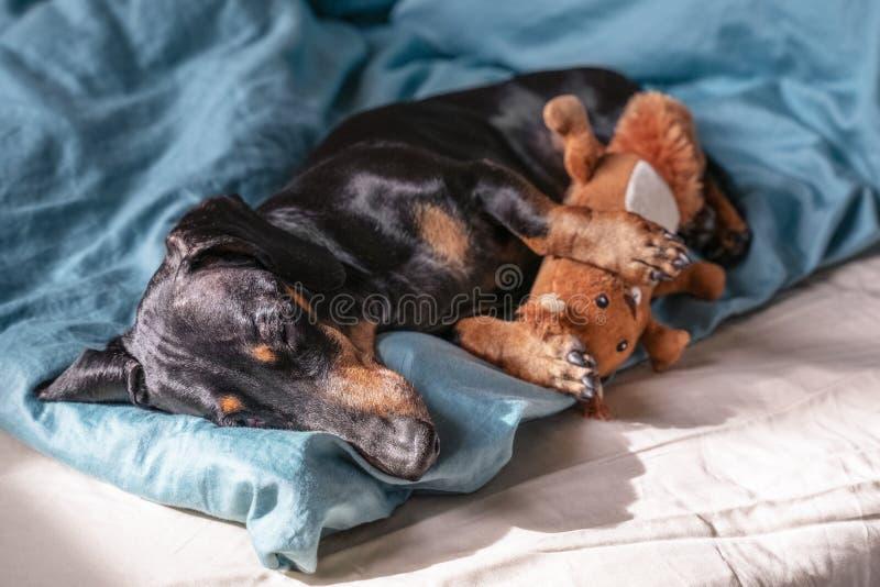 Bassê bonito da raça do cão, preto e bronzeado, dormindo docemente no sono com seu brinquedo na cama fotos de stock royalty free