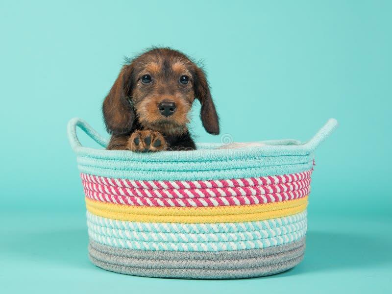 Bassê bonito do cachorrinho em uma cesta colorida em um fundo do azul da hortelã imagens de stock