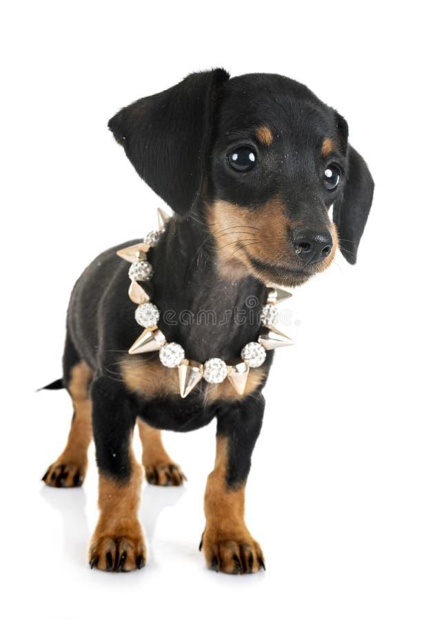 Bassê diminuto do cachorrinho imagem de stock royalty free