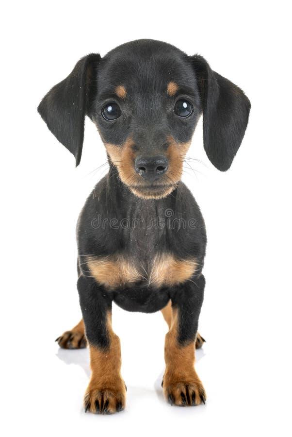 Bassê diminuto do cachorrinho imagens de stock