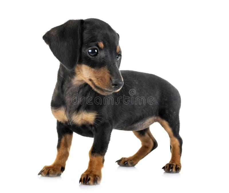 Bassê diminuto do cachorrinho fotografia de stock royalty free