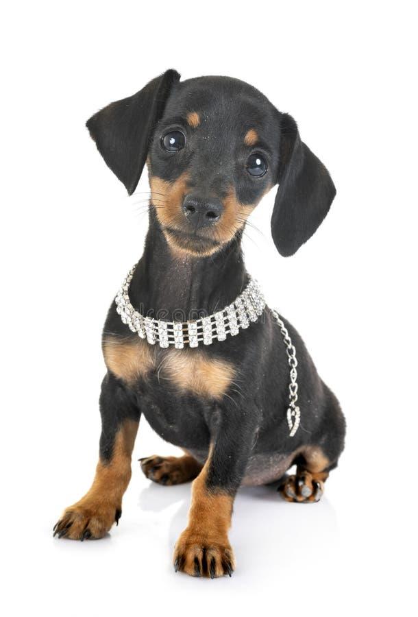 Bassê diminuto do cachorrinho imagens de stock royalty free