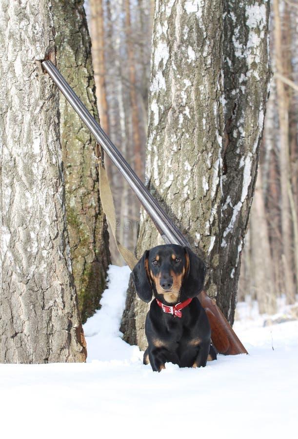 Bassê e espingarda pretos perto da árvore de vidoeiro na floresta do inverno fotografia de stock