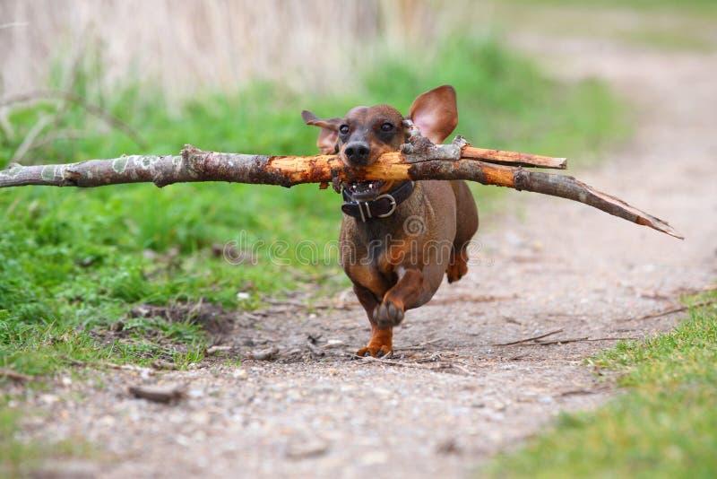 Bassê marrom pequeno brincalhão que corre nas madeiras em uma estrada arenosa e que recupera um ramo grande para o divertimento imagens de stock