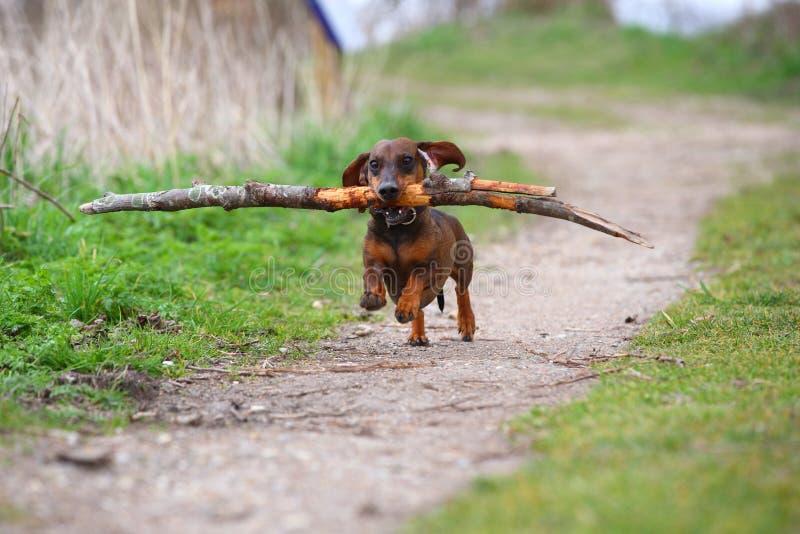 Bassê marrom pequeno brincalhão que corre nas madeiras em uma estrada arenosa e que recupera um ramo grande para o divertimento imagem de stock
