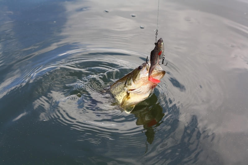 Bass. Regular bass caught on a hook stock image