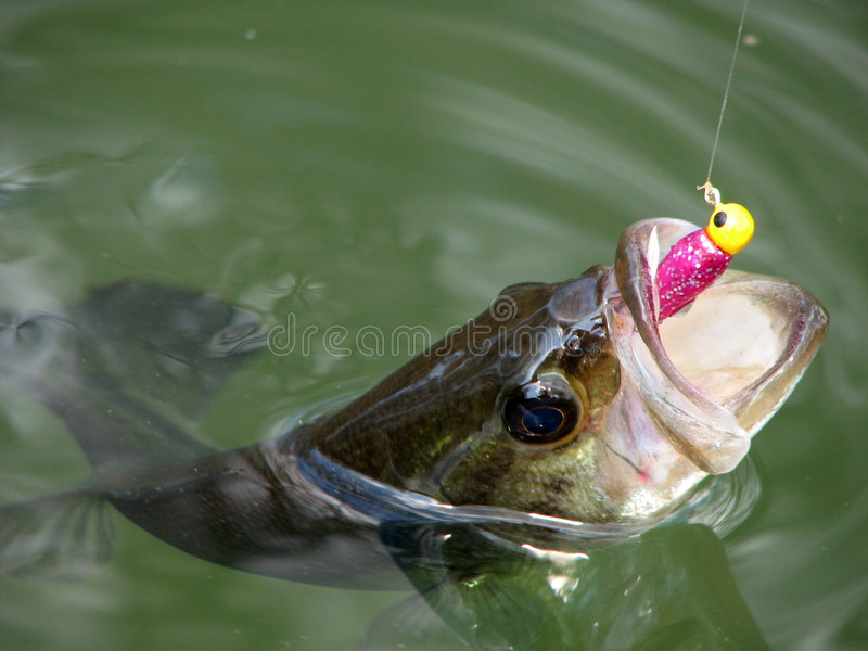 Bass. Small Bass on Water Surface stock images