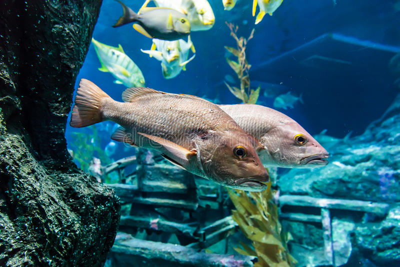 Bass fish. Under the blue water royalty free stock photos