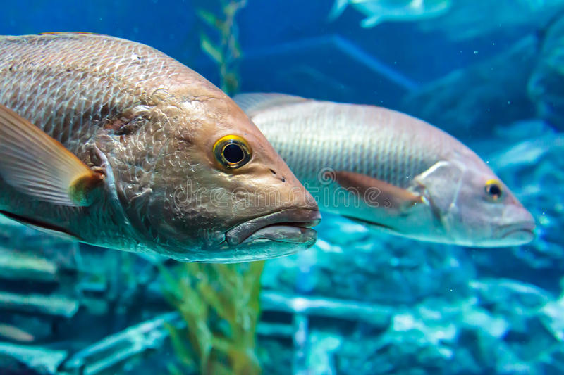 Bass fish. Under the blue water stock image