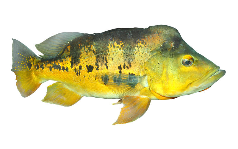 The Bass fish. The Bass fish isolated on a white background royalty free stock photos
