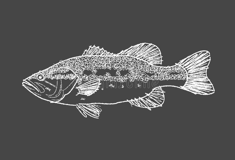 Bass fish sketch pencil. Illustration pencil drawing bass fish freehand style vector illustration