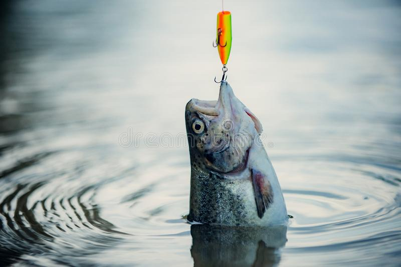 Bass fishing. Fish head and fishing hook. Concepts of successful fishing. royalty free stock image