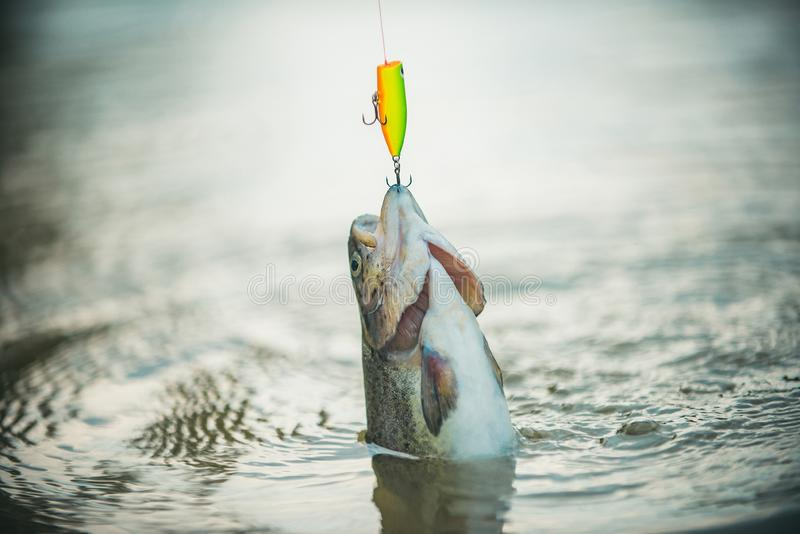 Bass fishing splash. Fish head and fishing hook. River grayling on the hook. Bass fishing. Trout. stock image