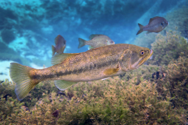 Bass Guards Territory Largemouth imagem de stock
