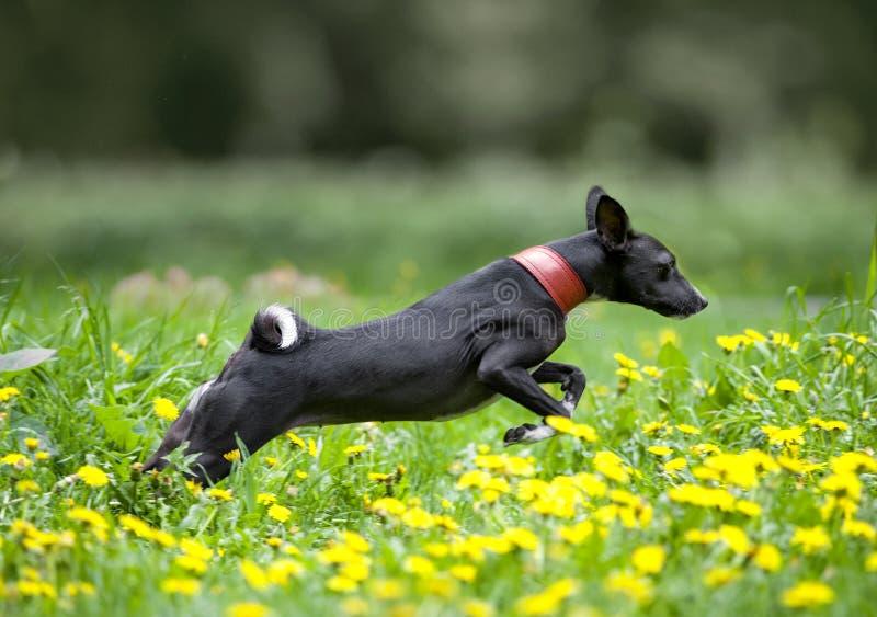 Bassenji banhoppning i gräset arkivfoto
