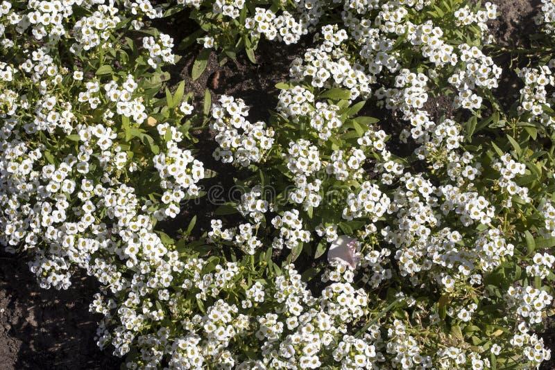 Basses usines fleurissantes annuelles croissantes d'Alyssum de tiges très embranchées contenant les groupes denses de petit d'ode image stock