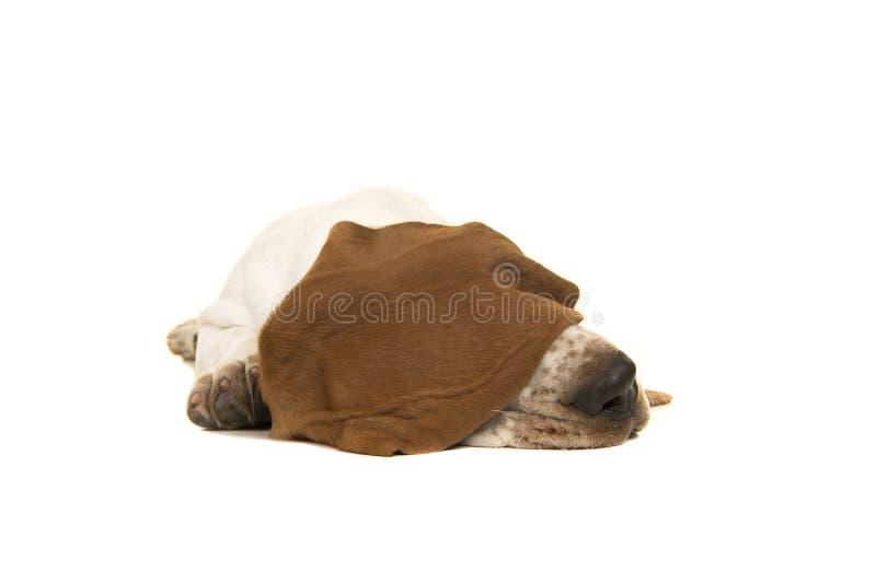 Basset de slaap van het hondenpuppy met oor over zijn ogen royalty-vrije stock afbeelding