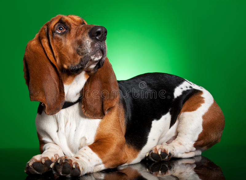 Basset dog on green background stock photos