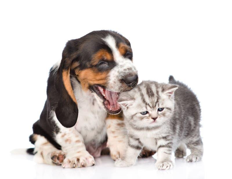 Basset het hondenpuppy wil een katje bijten Geïsoleerd op wit stock foto's
