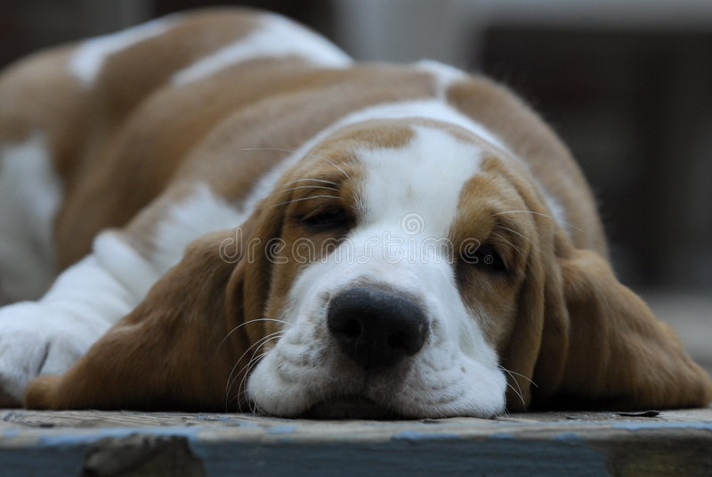 Basset hond stock afbeelding