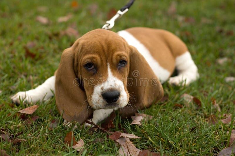Basset Hond die in het gras legt royalty-vrije stock foto