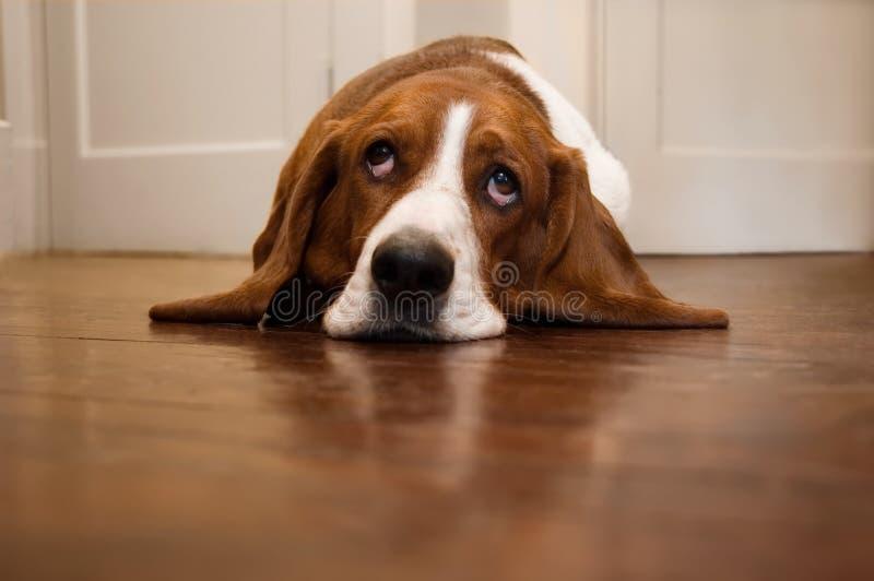 Basset hond die zijn ogen rolt royalty-vrije stock afbeelding