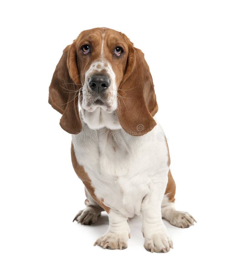 Basset Hound (1 year old)- hush puppy. Basset Hound (1 year old) in front of a white background stock image