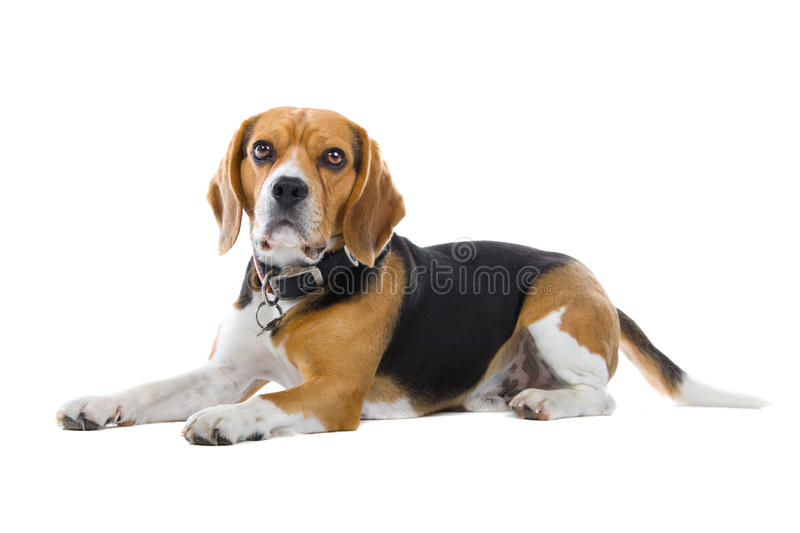 Download Basset hound stock photo. Image of isolated, cute, friend - 11309642