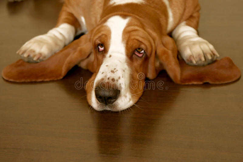 Download Basset hound stock photo. Image of eyes, long, puppy - 16936040