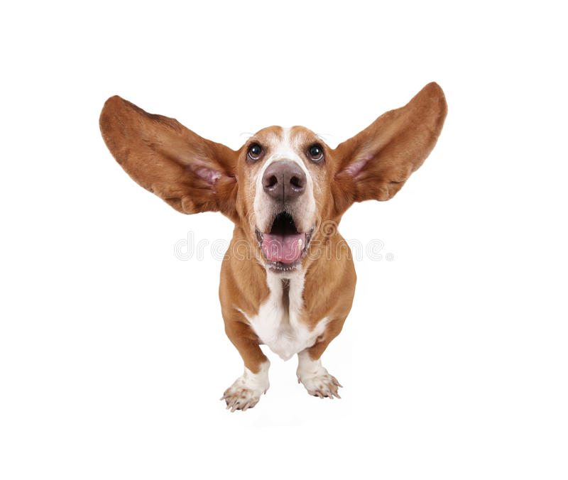 A basset hound royalty free stock photography