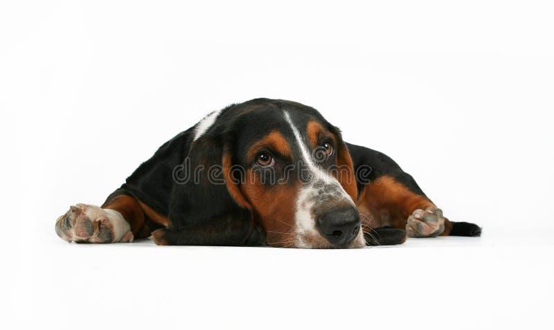 Download Basset hound stock photo. Image of background, canine - 3066926