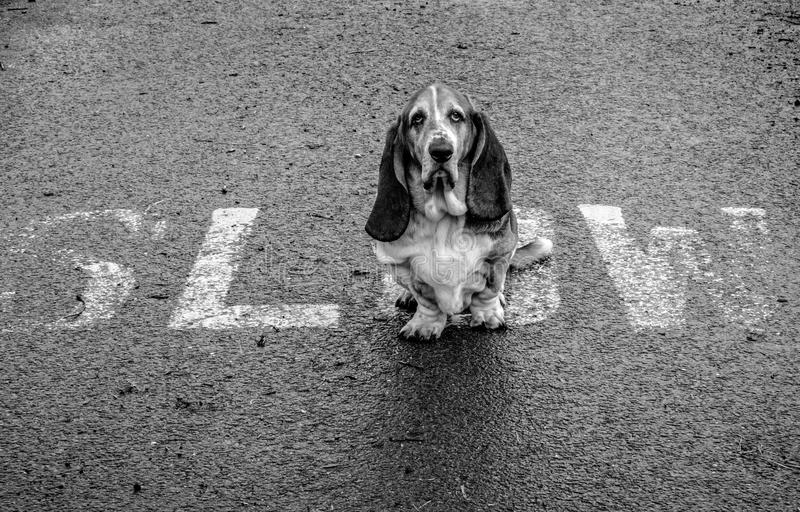 Basset Hound being slow!. Basset hound with large comedy ears refuses to budge at a highway stop sign royalty free stock photography