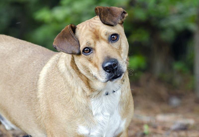 Basset Hound Corgie mixed breed dog. Short tan and white neutered male Basset Hound Corgie mixed breed dog head tilt. Animal shelter adoption photography for royalty free stock images