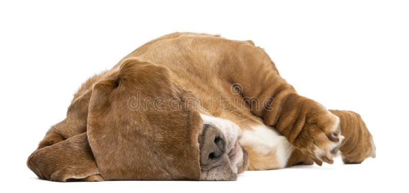 Basset Hound die en met zijn oren liggen slapen die zijn ogen verbergen royalty-vrije stock foto