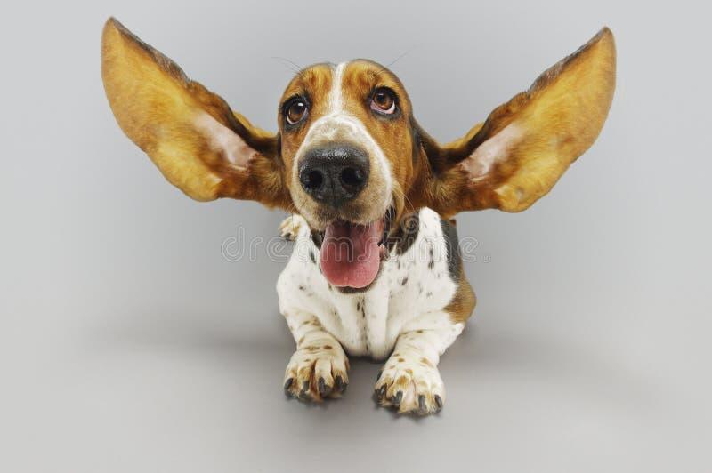 Basset Hound die met Uitgebreide Oren zitten stock afbeeldingen