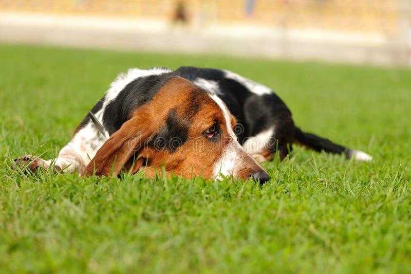 Basset Hound Dog Royalty Free Stock Photo