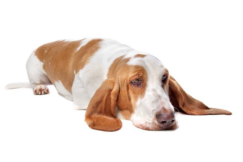 Basset hound dog. Cute basset hound dog lying on floor; white studio background stock image