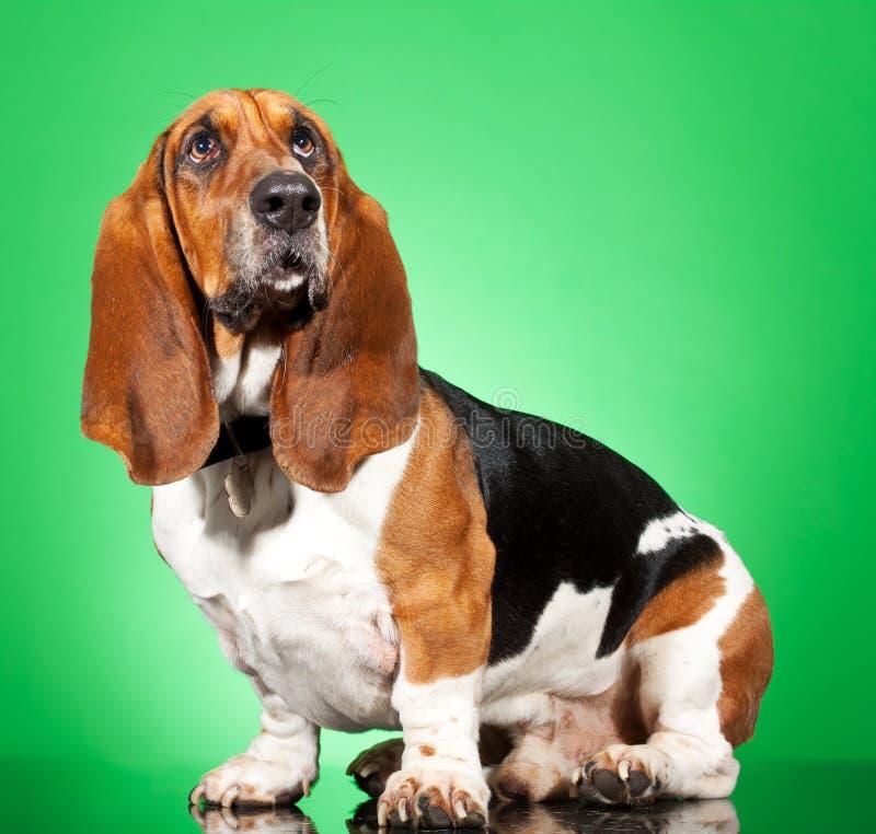 Basset Hound dog. Profile of a Basset Hound dog looking up isolated on white stock photography