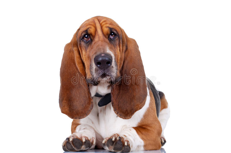 Basset Hound dog. Looking to the camera and and isolated on white royalty free stock photos
