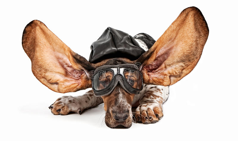 Basset Hound Dog Aviator. Basset hound dog with ears flying back wearing an aviator hat and goggles. Isolated on white royalty free stock photography