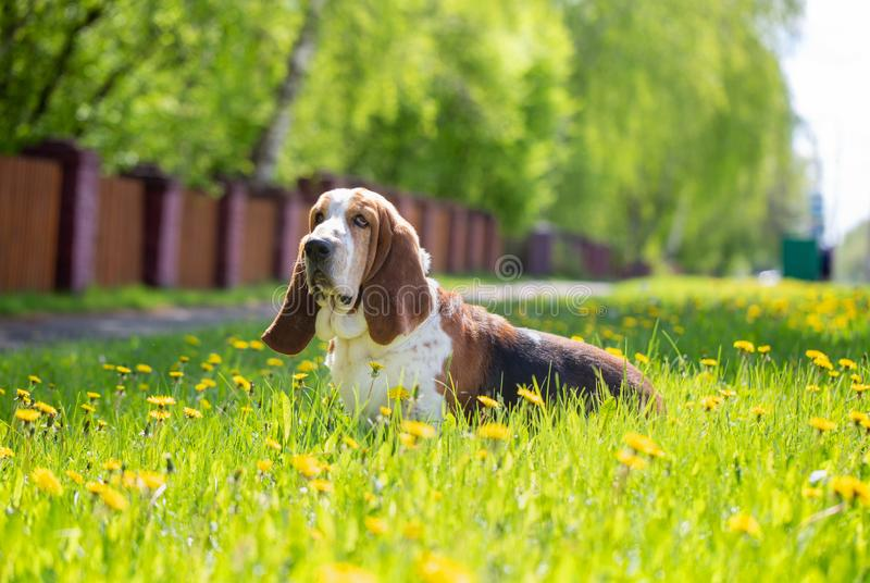 Basset hound, dog on the background of summer flowers and green grass stock photography