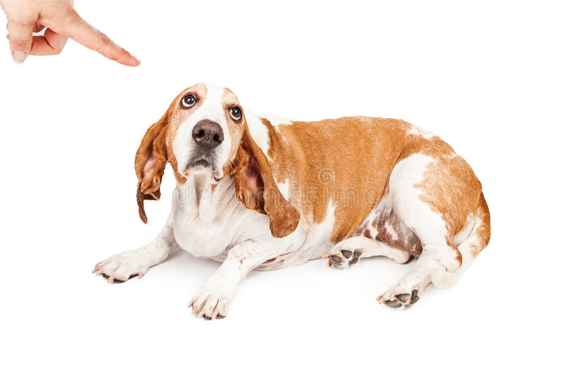 Basset Hound Dog Being Punished. A person shaking a finger at a Basset Hound dog with a guilty expression stock image
