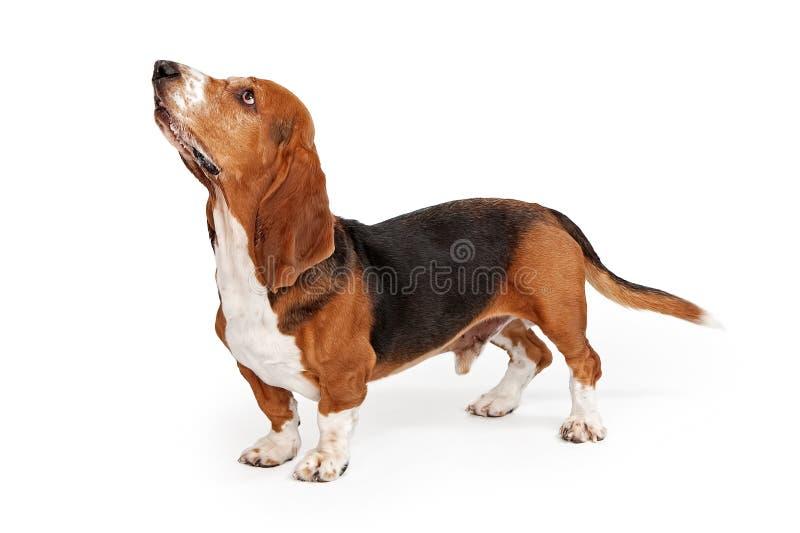 Basset Hound Dog Profile. Profile of a Basset Hound dog looking up isolated on white stock image