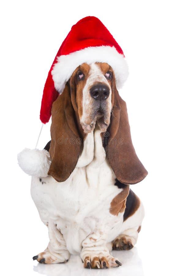 Basset hound dog in a santa hat. Basset hound breed dog on white stock photo