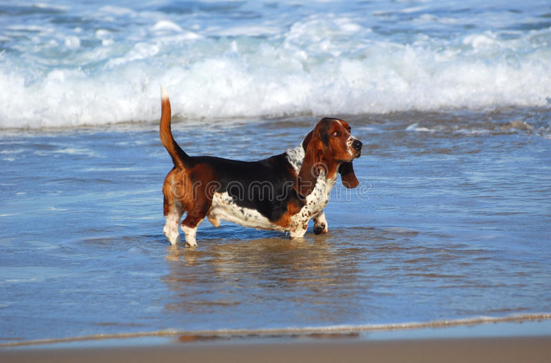 Basset hound dog in sea. Full body side view of a purebred male tricolor Basset hound dog standing in the sea royalty free stock photos
