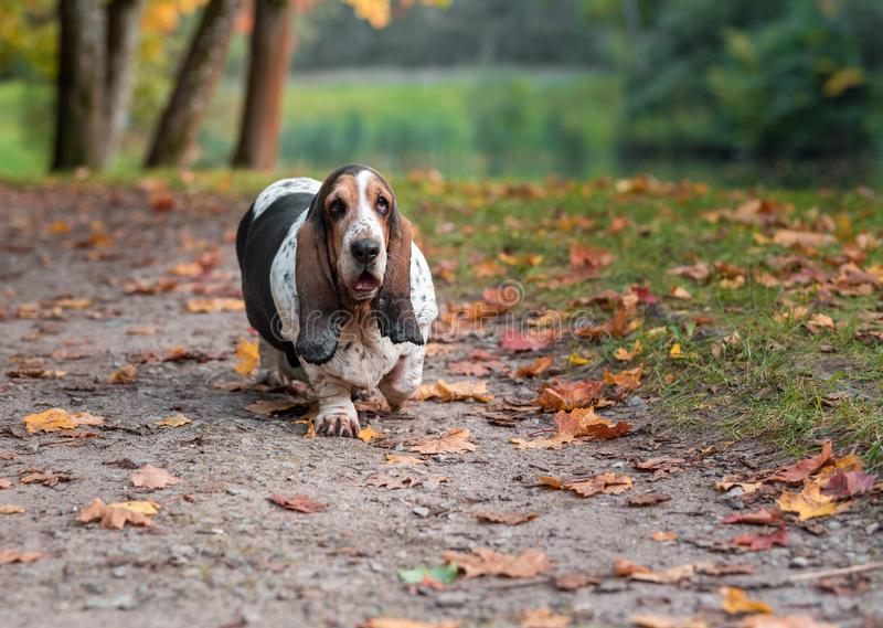Basset Hound Dog Walks on the Autumn Leaves. Portrait. Basset Hound Dog Walks on the Autumn Leaves royalty free stock photos